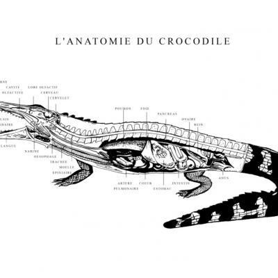 L'ANATOMIE DU CROCODILE - A3 - Réalisée pour l'Aquarium de la Porte Dorée - Tirages