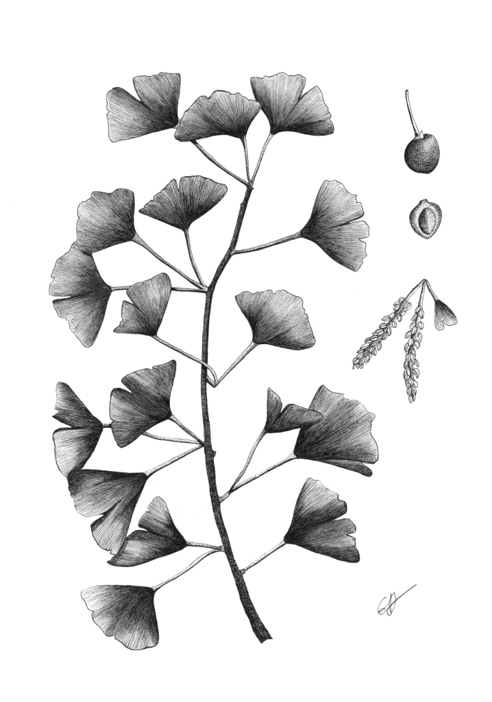 Planche Gingko Biloba - A4 Original disponible - Reproductions