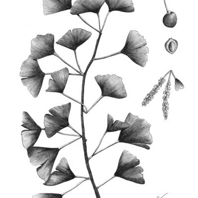 Planche Gingko Biloba - A4 Original disponible - Tirages prochainement