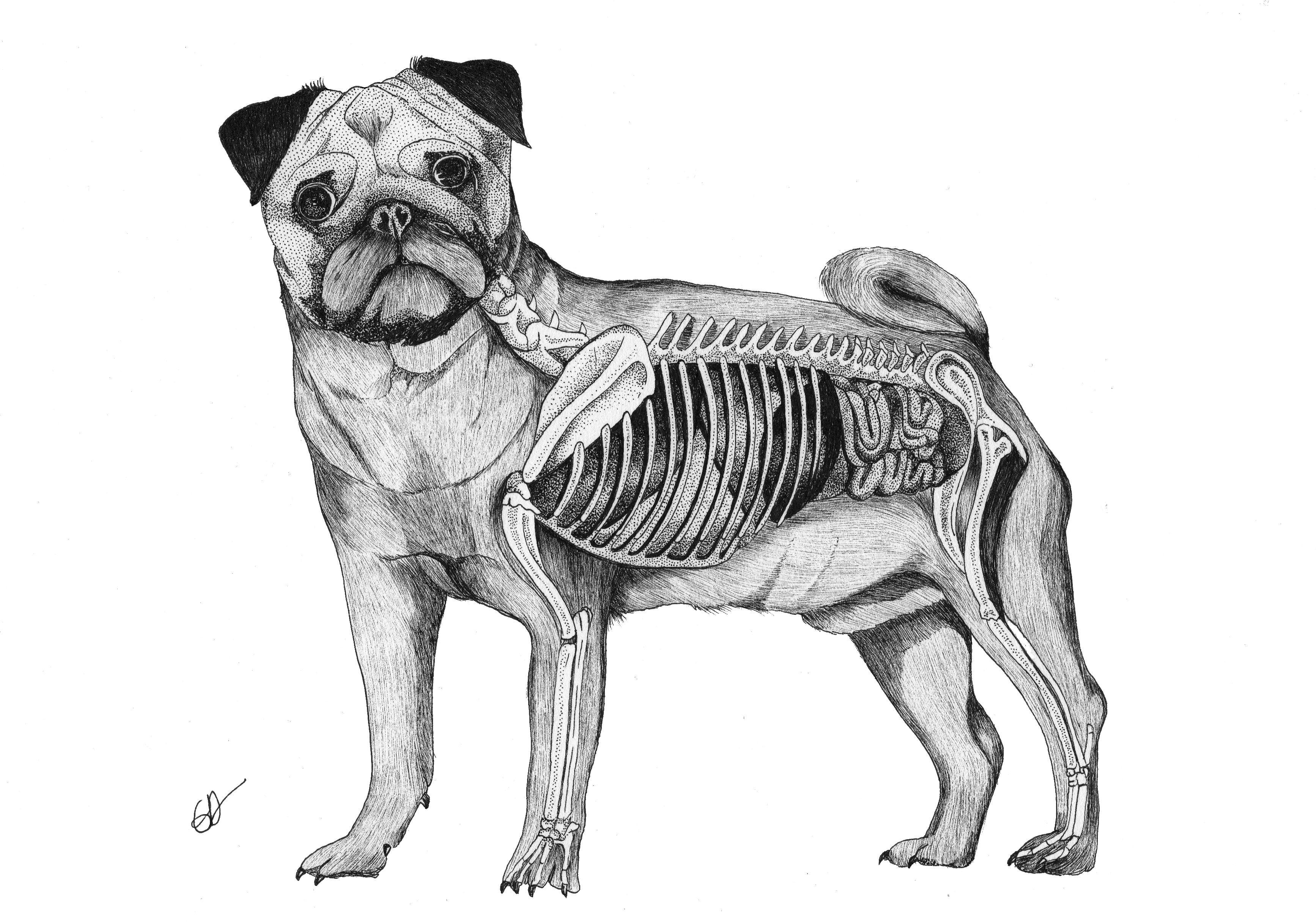 L'anatomie du Carlin ( commande - pas de reproductions)