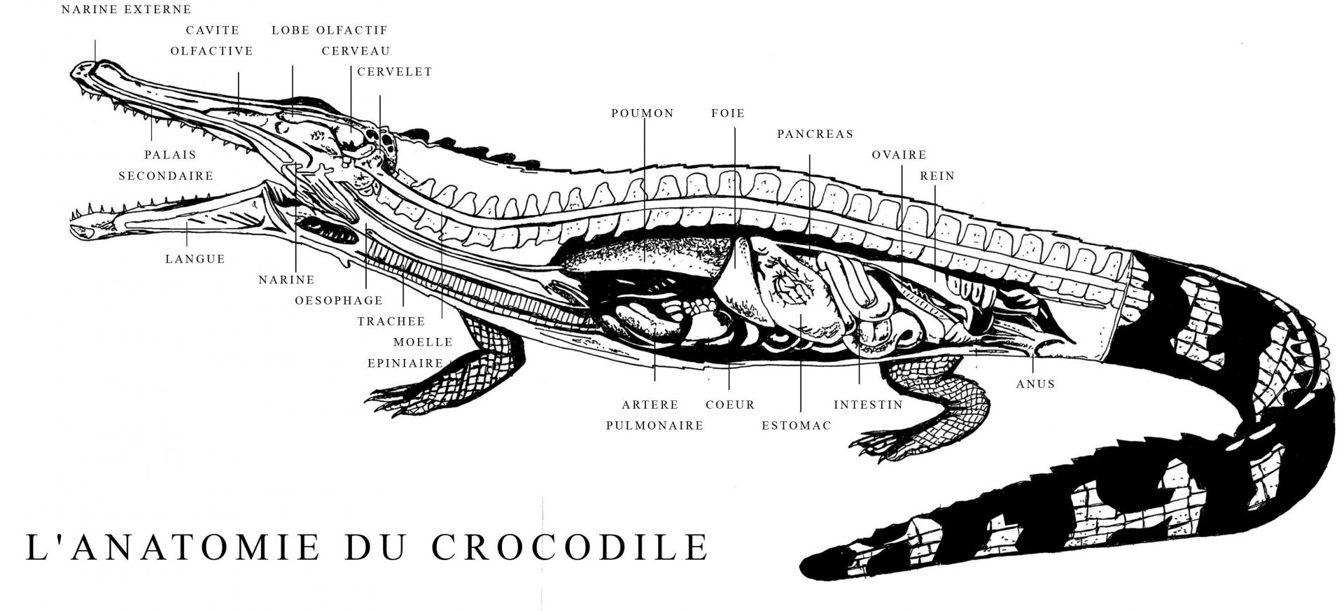 Affiche croco morphologie copie