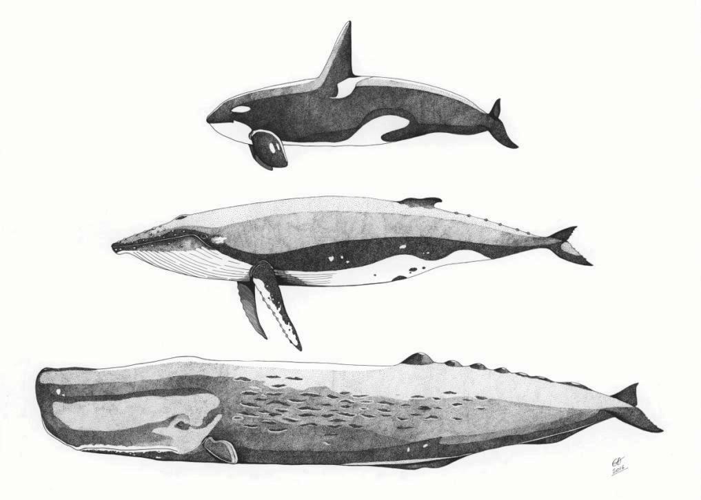 Baleines a3 bis 3