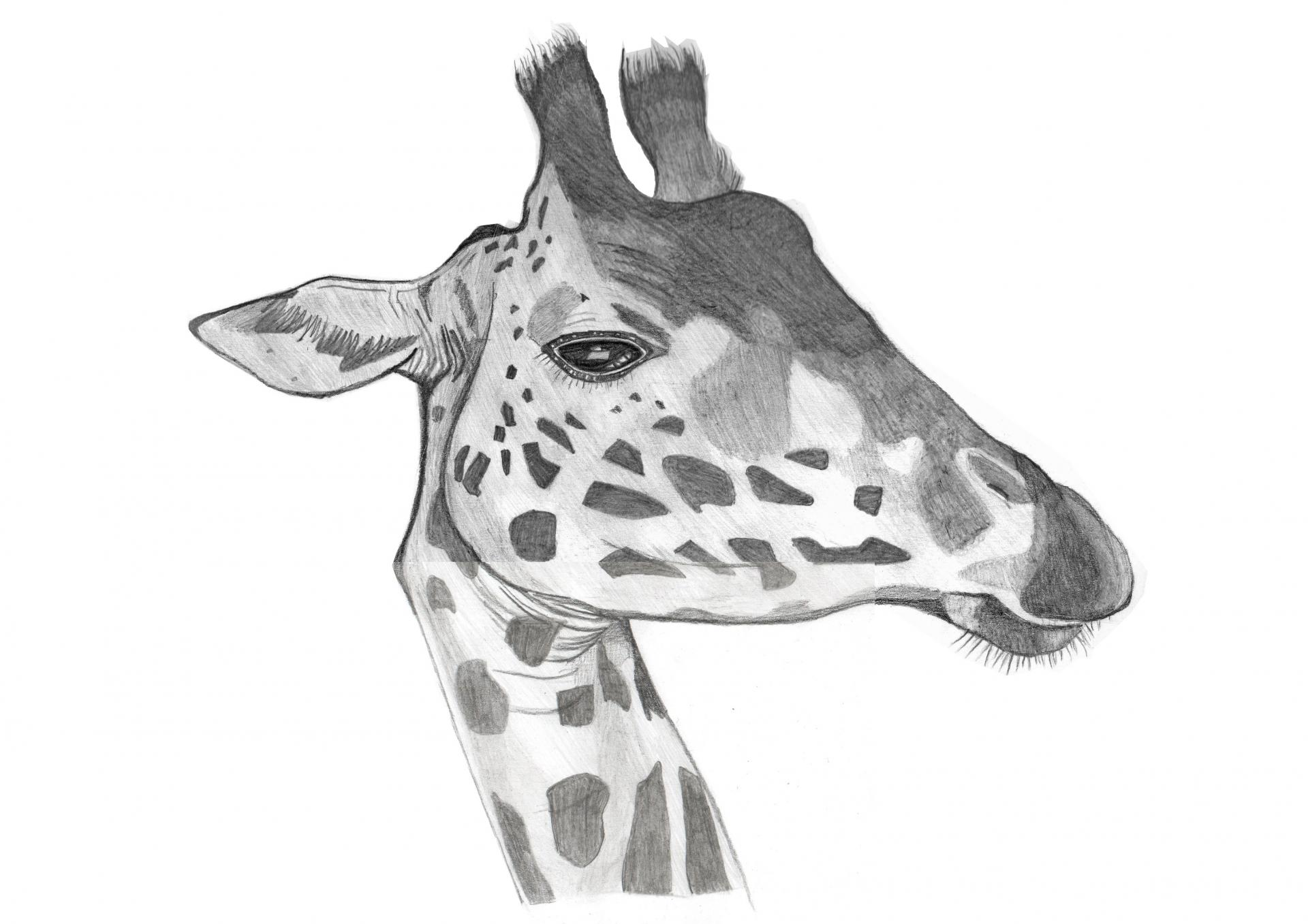 Girafe killian modifie 1